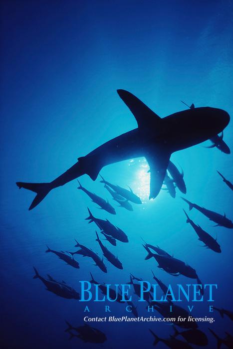 gray reef shark and horse eye jacks in silhouette, Carcharhinus amblyrhynchos, Caranx sexfasciatus, Blue Corner, Palau, Micronesia, Pacific Ocean