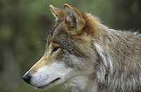 Wolf, Portrait, Canis lupus, gray wolf