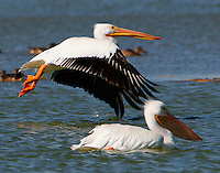 Two American white pelicans, nonbreeding, one in flight