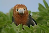 great frigatebird, Fregata minor, young, Lisianski, Papahanaumokuakea Marine National Monument, Northwestern Hawaiian Islands, Hawaii, USA, Pacific Ocean