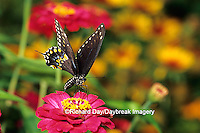 03009-00809 Black Swallowtail (Papilio polyxenes) on Zinnia sp., Marion Co.  IL