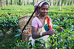 Woman harvesting lowland tea, Assam, India --- Model Released