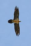 Lammergeier or Bearded Vulture in flight. Ordesa y Monte Perdido national park, Aragon,Pyrenees, Spain.