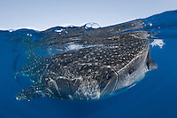 RX3840-D. Whale Shark (Rhincodon typus) feeding on fish eggs (transparent) floating at the surface. These huge fish can grow to 50 feet long, but eat only small prey- plankton, shrimp, and occasionally small fish. Gulf of Mexico, Mexico, Caribbean Sea.<br /> Photo Copyright &copy; Brandon Cole. All rights reserved worldwide.  www.brandoncole.com
