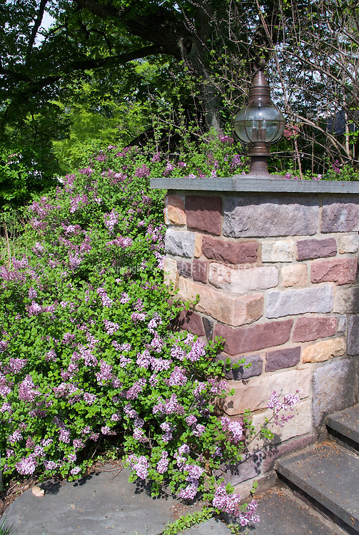 Syringa meyeri Palibin littleleaf lilac shrub next to stone wall entrance garden as foundation planting