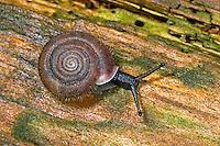 Riemenschnecke, Helicodonta obvoluta, cheese snail, Riemenschnecken, Helicodontidae