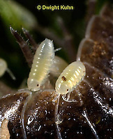 1Y33-504z  Pillbug or Roly Poly showing young just emerged from their mother's protective pouch on her underside, Armadillidum vulgare