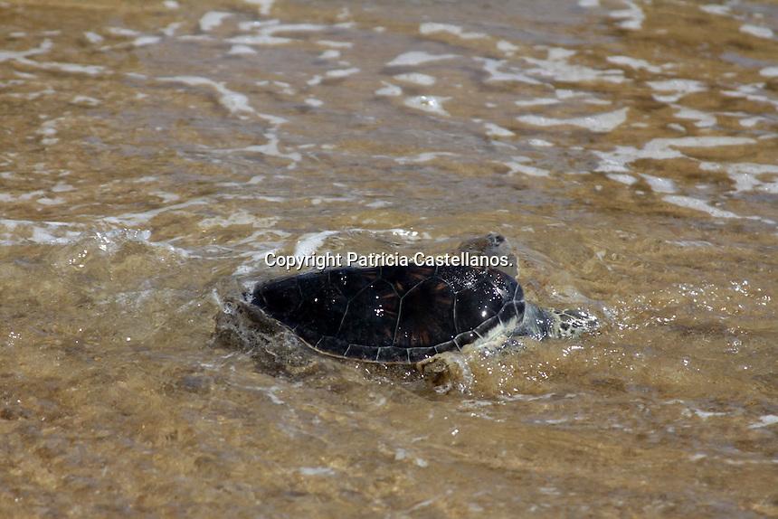 Oaxaca de Ju&aacute;rez. 18 de Noviembre 2014.- Como ya es costumbre en esta &eacute;poca del a&ntilde;o, el Centro Mexicano de la Tortuga de Mazunte efectu&oacute; la liberaci&oacute;n de tortugas de las especies: golfina, prieta, la&uacute;d y carey, evento que pudo ser apreciado ampliamente por turistas en las playas de esta agencia.<br /> <br /> El evento fue enmarcado por la belleza de la playa de Mazunte, la cual se ti&ntilde;e de colores en sus atardeceres, y su mar abriga a las tortugas que regresan a su hogar despu&eacute;s de estar en cautiverio un tiempo.<br /> <br /> La conservaci&oacute;n de este animal es primordial para la instituci&oacute;n antes mencionada, la cual impulsa la protecci&oacute;n de esta especie que est&aacute; casi en peligro de extinci&oacute;n.<br /> <br /> <br /> Foto: Patricia Castellanos / Obture.