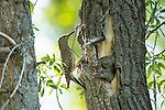 A female Northern flicker feeds her nestlings in a cottonwood tree in Grand Teton National Park, Wyoming.