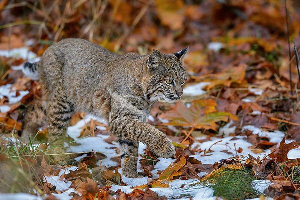 Wild Bobcat (Lynx rufus) walking through bigleaf maple tree leaves and old snow.  Olympic National Park, WA.  November.  (Completely wild, non-captive cat.)