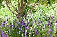 Consolida ajacis, larkspur, rocket larkspur, annual delphinium, flowering under orchard in farm garden