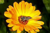 Coelioxys elongata - female. A solitary bee parasitic on Megachile willughbiella, uncommon.