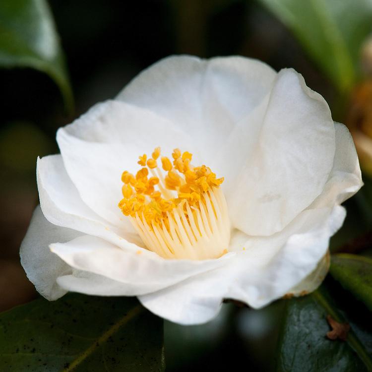 Camellia japonica 'Alba Simplex', late March.