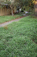 Dwarf running bamboo lawn substitute drought tolerant groundcover