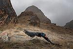 Alpine Chough (Pyrrhocorax pyrrhocorax) taking flight in mountains, Sarychat-Ertash Strict Nature Reserve, Tien Shan Mountains, eastern Kyrgyzstan