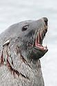 Antarctic Fur Seal bull (Arctocephalus gazelle), Jason Harbour, South Georgia. November.