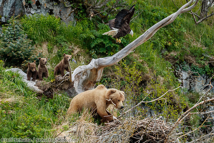 A grizzly bear sow and cubs invade a bald eagle nest on a cliff in Kukak Bay of the Katmai Coast in Katmai National Park, Alaska.  Summer.  June 2018<br /> <br /> Photo by Jeff Schultz/SchultzPhoto.com  (C) 2018  ALL RIGHTS RESERVED