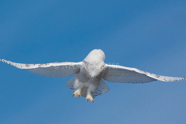 A snowy owl looks behind as it takes flight from its winter perch in Montana