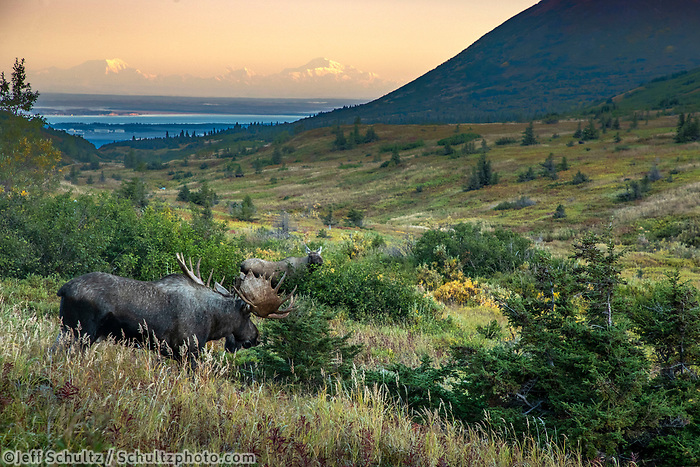 Fall landscape Bull & Cow moose in powerline valley in Glen Alps area of Chugach State Park. Denali (Mt. Mckinley) in background.  Southcentral, Alaska  Autumn  <br /> <br /> Photo by Jeff Schultz/SchultzPhoto.com  (C) 2018  ALL RIGHTS RESERVED