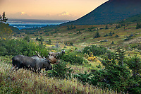 Fall landscape Bull &amp; Cow moose in powerline valley in Glen Alps area of Chugach State Park. Denali (Mt. Mckinley) in background.  Southcentral, Alaska  Autumn  <br /> <br /> Photo by Jeff Schultz/SchultzPhoto.com  (C) 2018  ALL RIGHTS RESERVED