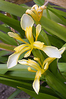 Iris foetidissima var. lutescens, yellow flowered form