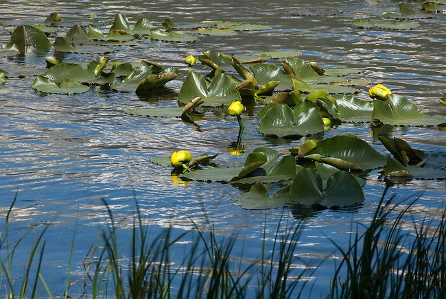 yellow pondlilies, Cub Lake, Rocky Mountains, landscape, lily pads, Rocky Mountain National Park, spring, morning, Colorado, USA.
