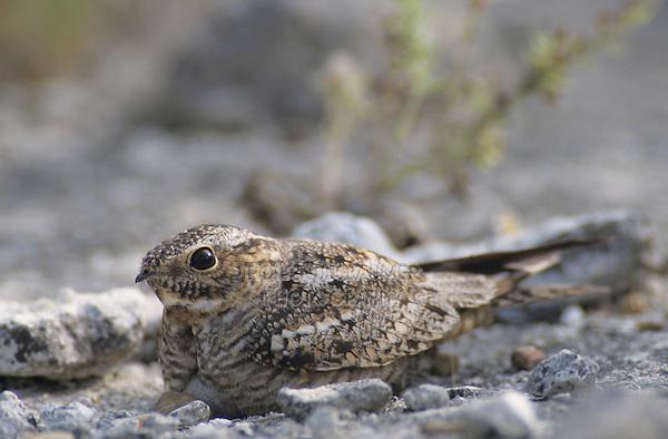 Lesser Nighthawk, Chordeiles acutipennis, female on nest with egg camouflaged, Lake Corpus Christi, Texas, USA