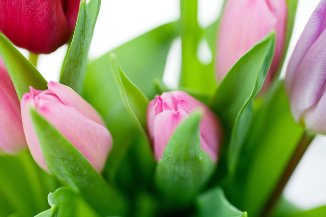 Pink, red and violet tulips in a bouquet
