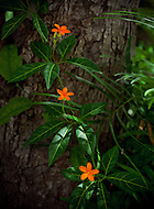 Beautiful orange flowers bloom on a vine growing up a tree.