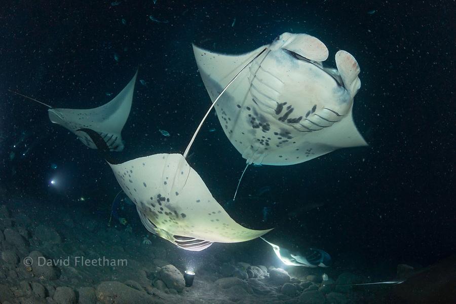 Reef manta rays, Manta alfredi, feed over baskets of lights used to attract plankton off the Kona Coast of the Big Island, Hawaii.