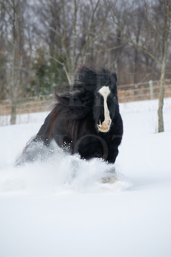 Horse running in winter snow with long mane and tail hair flying, purebred Gypsy Vanner front view, a rural scene in Pennsylvania, PA, USA.