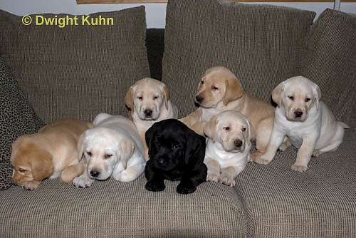 SH38 501z Lab Puppies