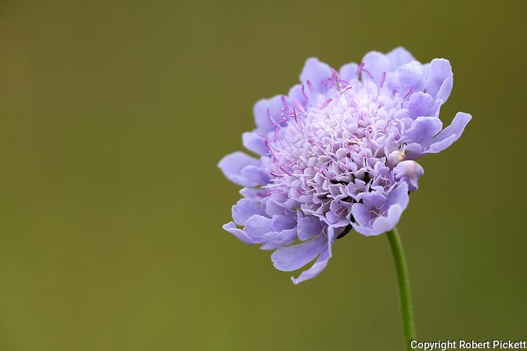 Devil's Bt Scabious Flower, Succisa pratensis,Temple Ewell Nature Reserve, Kent Wildlife Trust, UK