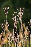 Native grass Andropogon gerardii (Big Bluestem, Turkeyfoot) flowering in Virginia meadow garden