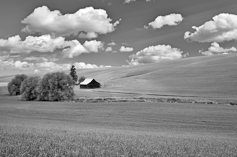 Barn and rolling hills of wheat. The Palouse near Pullman, Washington