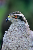 537413029 portrait of a captive asdult northern goshawk accipiter gentillis
