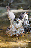 Sharp-shinned Hawk (Accipiter striatus velox), Northern subspecies, adult bathing in a pond at the Sabal Palm Sanctuary in Brownsville, Texas.
