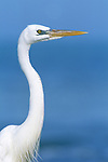 Great White Heron, Sanibel, FL, USA