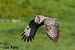 Great gray owl in flight. Grand Teton National Park, Wyoming.