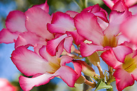 Desert Rose Flowers<br /> Virgin Islands