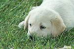 Yellow Labrador retriever (AKC) puppy lying in the grass