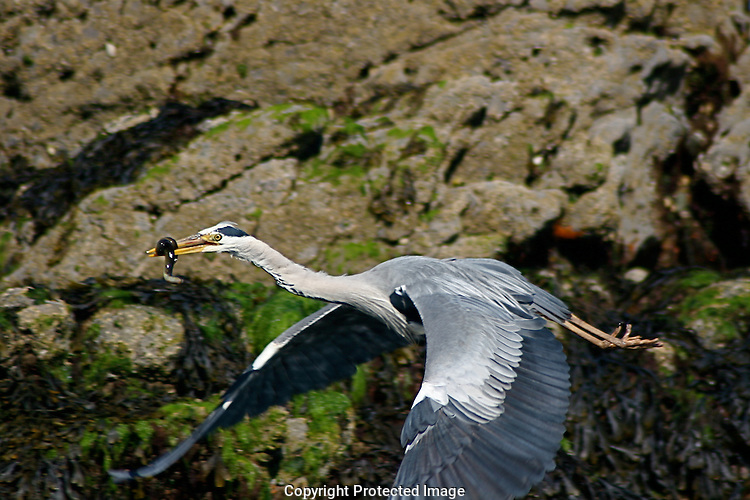Gray Heron flying with an eel dinner near Malahide, Ireland