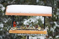 00585-03418 Northern Cardinal male, House Finches & American Goldfinch & Carolina Chickadee on tray feeder in winter, Marion Co.  IL