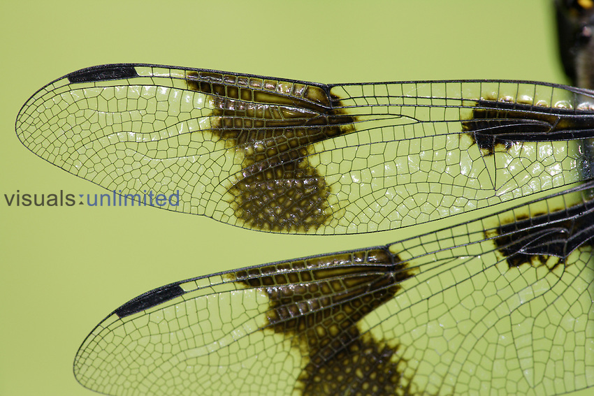 Female Eight-spotted Skimmer Dragonfly (Libellula forensis) wings showing venation.