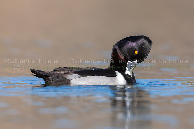 A male Ring-necked Duck (Aythya collaris) preening while swimming on a lake at Santee Regional Park, Santee, California.