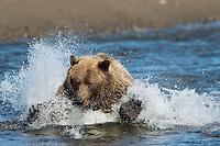 Silver Salmon dives, but can't escape the Brown Bear (Ursus arctos), Lake Clark National Park, Alaska