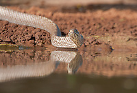 414140017 a wild western coachwhip snake masticophis flagelum testaceus drinks and slithers in a small pond on santa clara ranch in starr county texas united states