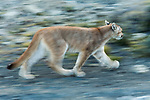 Mountain Lion (Puma concolor) six month old male cub running, Torres del Paine National Park, Patagonia, Chile