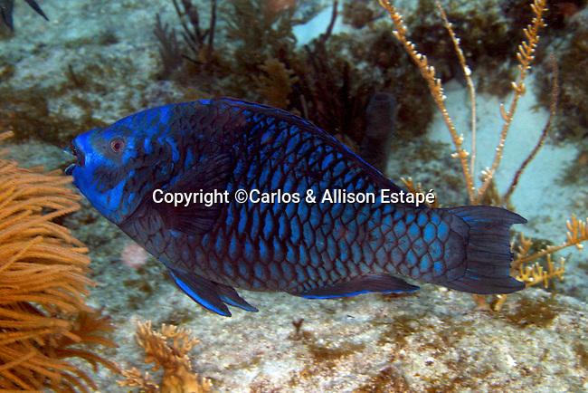 Scarus coelestinus, Midnight parrotfish, Florida Keys