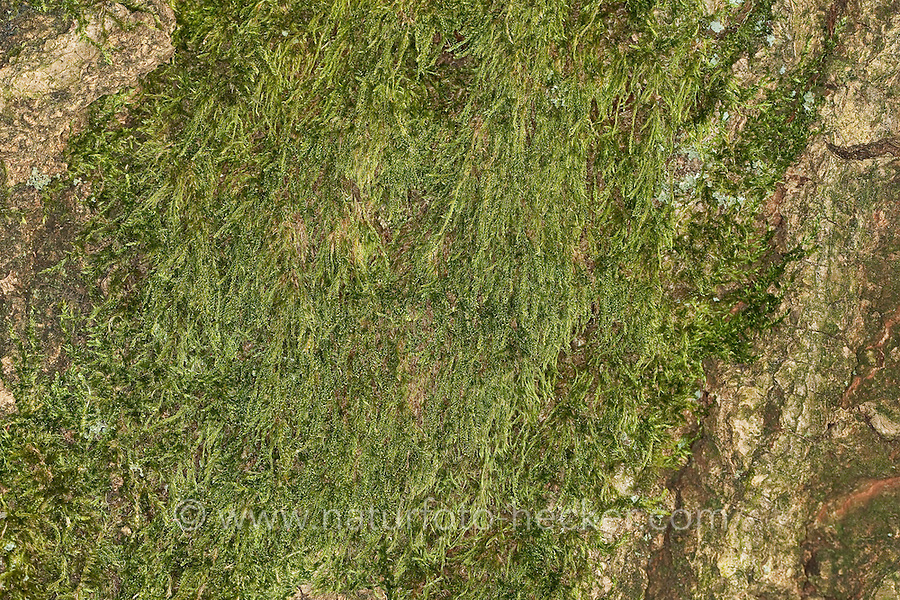 Zypressen-Schlafmoos, Zypressenschlafmoos, Zypressenförmiges Schlafmoos, Hypnum cupressiforme, cypress-leaved plait-moss, hypnum moss